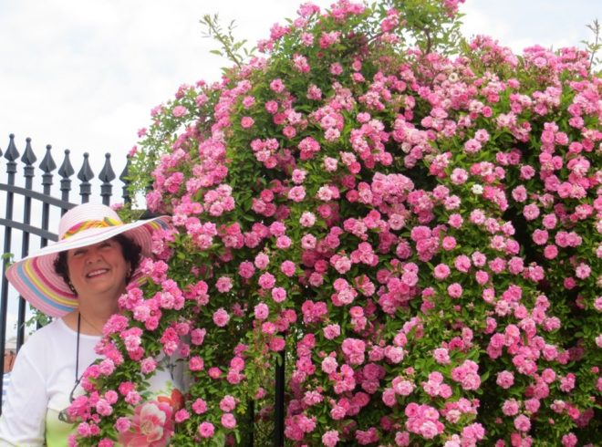 A woman in a sun hat standing next to a large old-fashioned rose full of pink blossoms.